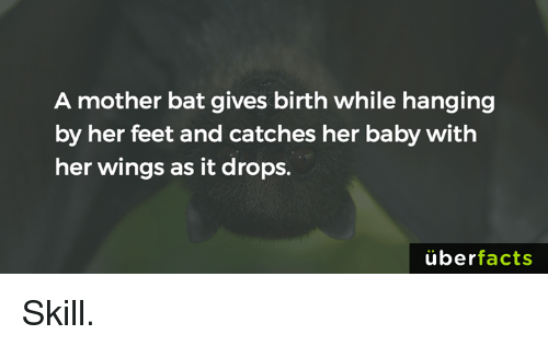 Baby, It's Cold Outside: A mother bat gives birth while hanging  by her feet and catches her baby with  her wings as it drops.  uber  facts Skill.