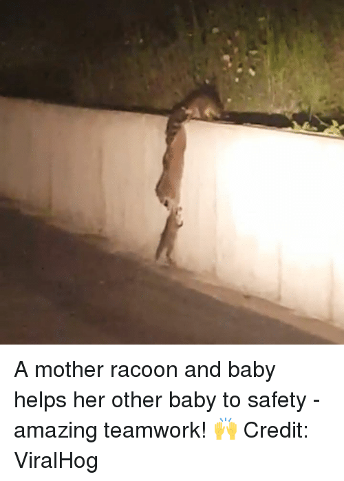 Amazing, Helps, and Baby: A mother racoon and baby helps her other baby to safety -  amazing teamwork! 🙌  Credit: ViralHog