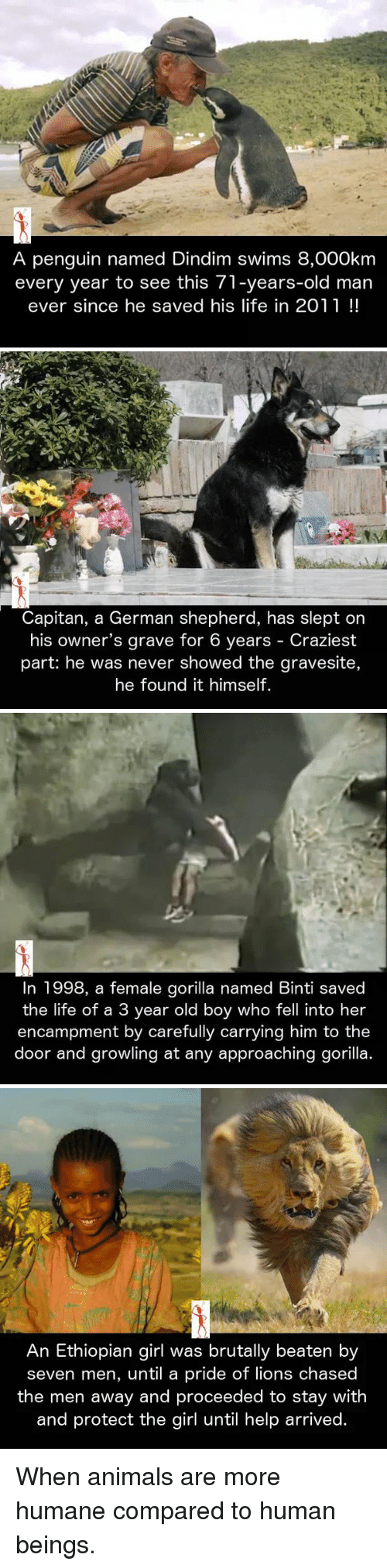 Ethiopians: A penguin named Dindim swims 8,000km  every year to see this 71-years-old man  ever since he saved his life in 2011   Capitan, a German shepherd, has slept on  his owner's grave for 6 years Craziest  part: he was never showed the gravesite,  he found it himself.   In 1998, a female gorilla named Binti saved  the life of a 3 year old boy who fell into her  encampment by carefully carrying him to the  door and growling at any approaching gorilla   An Ethiopian girl was brutally beaten by  seven men, until a pride of lions chased  the men away and proceeded to stay with  and protect the girl until help arrived. When animals are more humane compared to human beings.