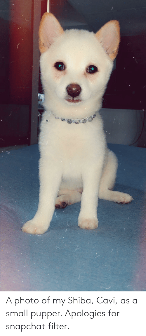 Snapchat Filter: A photo of my Shiba, Cavi, as a small pupper. Apologies for snapchat filter.