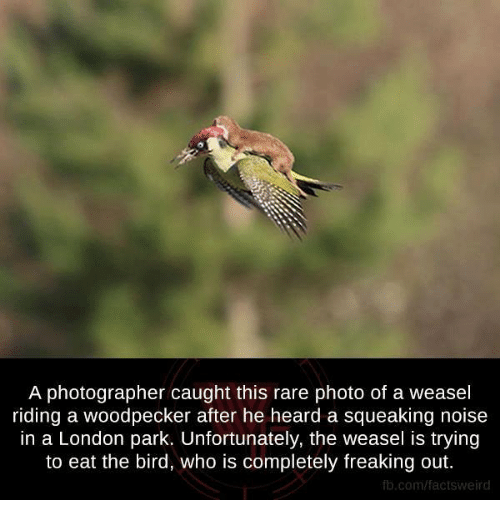 woodpecker: A photographer caught this rare photo of a weasel  riding a woodpecker after he heard a squeaking noise  in a London park. Unfortunately, the weasel is trying  to eat the bird, who is completely freaking out.  fb.com/factsweird