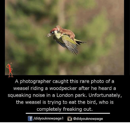 woodpecker: A photographer caught this rare photo of a  weasel riding a woodpecker after he heard a  squeaking noise in a London park. Unfortunately,  the weasel is trying to eat the bird, who is  completely freaking out.  /didyouknowpagel  Cu  @didyouknowpage