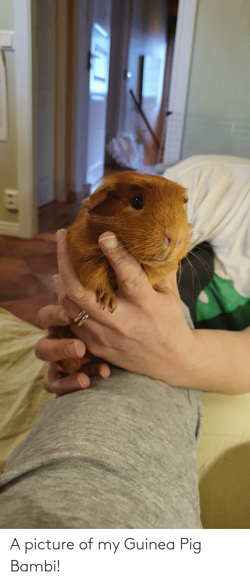 Bambi: A picture of my Guinea Pig Bambi!