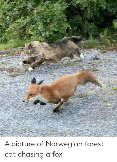 norwegian forest cat: A picture of Norwegian forest cat chasing a fox