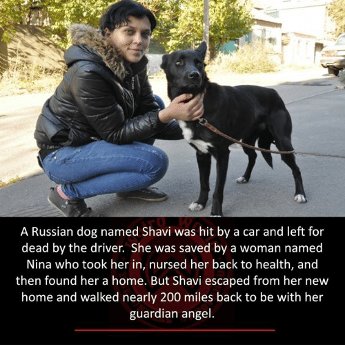 guardian angels: A Russian dog named Shavi was hit by a car and left for  dead by the driver. She was saved by a woman named  Nina who took her in, nursed her back to health, and  then found her a home. But Shavi escaped from her new  home and walked nearly 200 miles back to be with her  guardian angel.