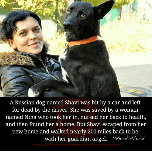 guardian angels: A Russian dog named Shavi was hit by a car and left  for dead by the driver. She was saved by a woman  named Nina who took her in, nursed her back to health  and then found her a home. But Shavi escaped from her  new home and walked nearly 200 miles back to be  with her guardian angel. Wird Worl