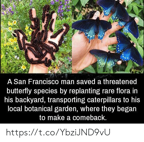 Butterfly: A San Francisco man saved a threatened  butterfly species by replanting rare flora in  his backyard, transporting caterpillars to his  local botanical garden, where they began  to make a comeback. https://t.co/YbziJND9vU