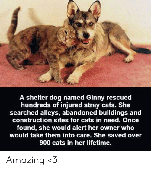 sites: A shelter dog named Ginny rescued  hundreds of injured stray cats. She  searched alleys, abandoned buildings and  construction sites for cats in need. Once  found, she would alert her owner who  would take them into care. She saved over  900 cats in her lifetime. Amazing <3