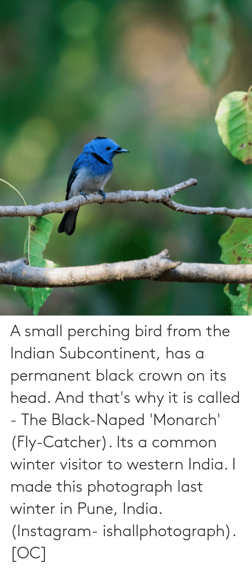 Indian: A small perching bird from the Indian Subcontinent, has a permanent black crown on its head. And that's why it is called - The Black-Naped 'Monarch' (Fly-Catcher). Its a common winter visitor to western India. I made this photograph last winter in Pune, India. (Instagram- ishallphotograph). [OC]