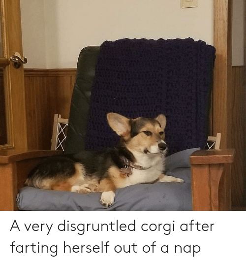 corgi: A very disgruntled corgi after farting herself out of a nap