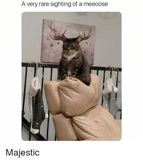 Funny, Rare, and Majestic: A very rare sighting of a meeoose Majestic