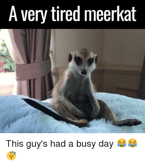 Meerkat: A very tired meerkat This guy's had a busy day 😂😂😴