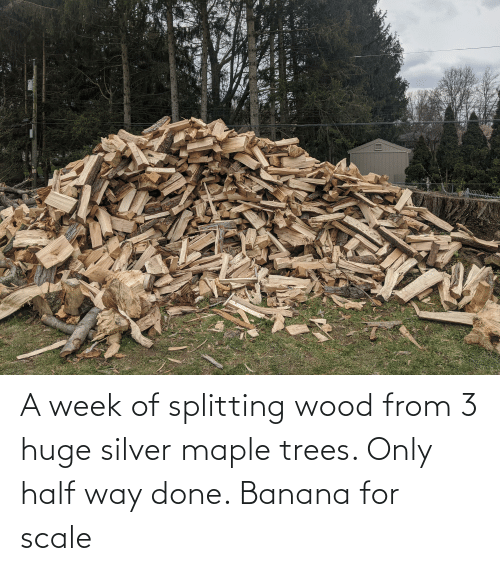 Silver: A week of splitting wood from 3 huge silver maple trees. Only half way done. Banana for scale