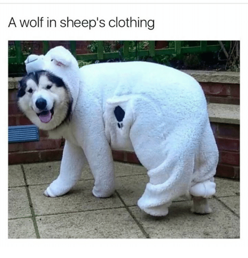 Clothes, Memes, and Wolf: A wolf in sheep's clothing