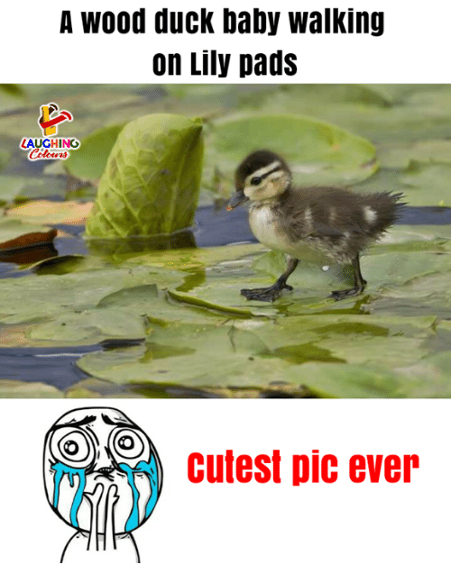 Duck, Indianpeoplefacebook, and Baby: A wood duck baby walking  on Lily pads  LAUGHING  Celowrs  cutest pic ever