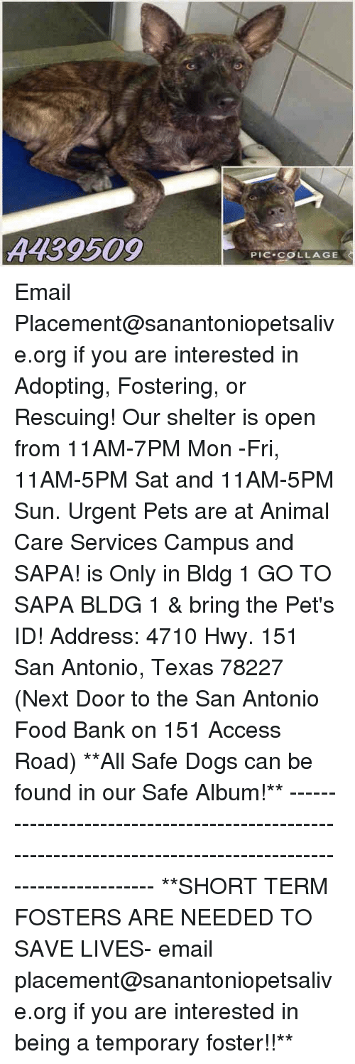 safe: A139509  PIC COLLAGE Email Placement@sanantoniopetsalive.org if you are interested in Adopting, Fostering, or Rescuing!  Our shelter is open from 11AM-7PM Mon -Fri, 11AM-5PM Sat and 11AM-5PM Sun.  Urgent Pets are at Animal Care Services Campus and SAPA! is Only in Bldg 1 GO TO SAPA BLDG 1 & bring the Pet's ID! Address: 4710 Hwy. 151 San Antonio, Texas 78227 (Next Door to the San Antonio Food Bank on 151 Access Road)  **All Safe Dogs can be found in our Safe Album!** ---------------------------------------------------------------------------------------------------------- **SHORT TERM FOSTERS ARE NEEDED TO SAVE LIVES- email placement@sanantoniopetsalive.org if you are interested in being a temporary foster!!**