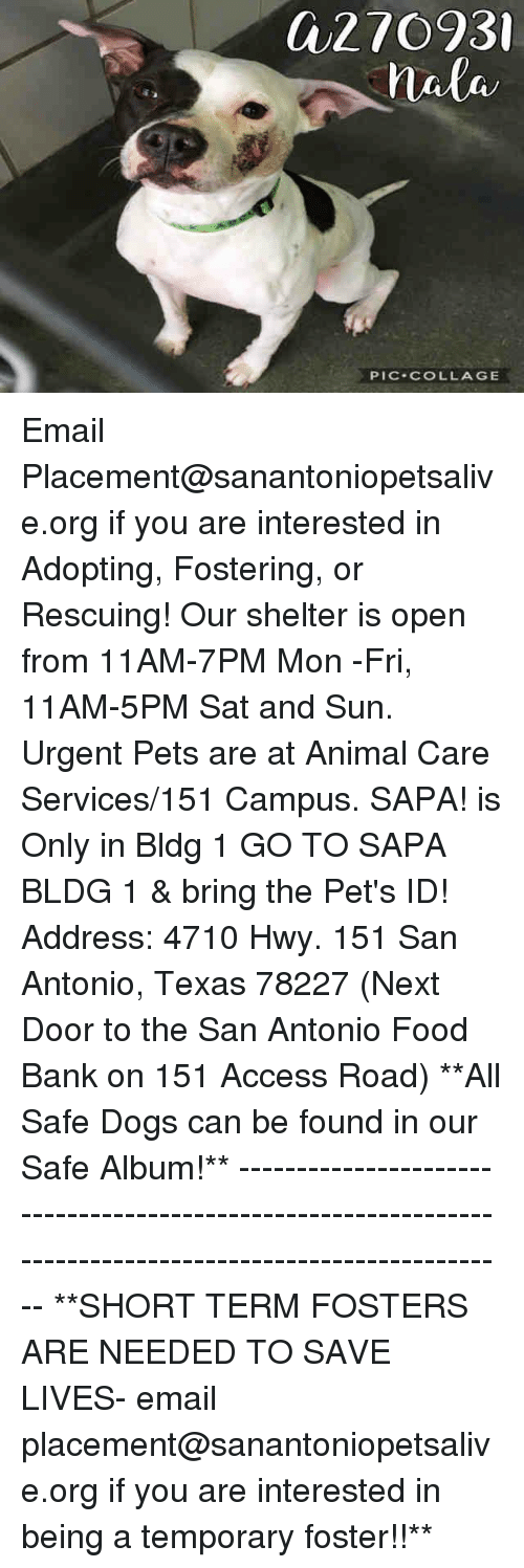 Dogs, Food, and Memes: a27093  PIC-COLLAGE Email Placement@sanantoniopetsalive.org if you are interested in Adopting, Fostering, or Rescuing!  Our shelter is open from 11AM-7PM Mon -Fri, 11AM-5PM Sat and Sun.  Urgent Pets are at Animal Care Services/151 Campus. SAPA! is Only in Bldg 1 GO TO SAPA BLDG 1 & bring the Pet's ID! Address: 4710 Hwy. 151 San Antonio, Texas 78227 (Next Door to the San Antonio Food Bank on 151 Access Road)  **All Safe Dogs can be found in our Safe Album!** ---------------------------------------------------------------------------------------------------------- **SHORT TERM FOSTERS ARE NEEDED TO SAVE LIVES- email placement@sanantoniopetsalive.org if you are interested in being a temporary foster!!**