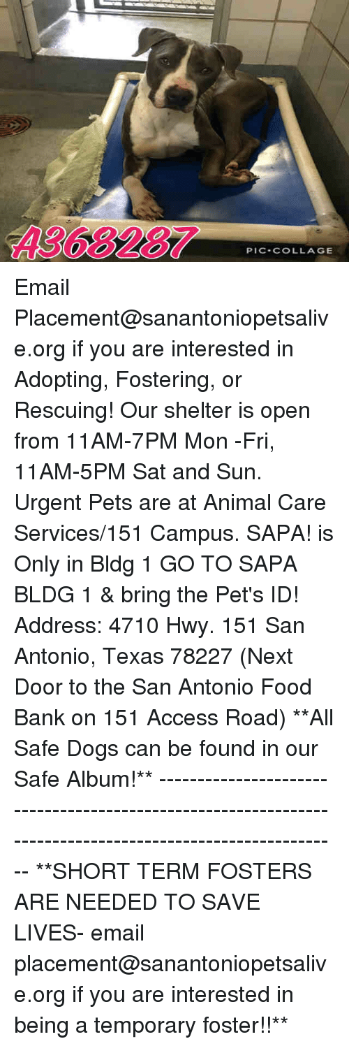 Dogs, Food, and Memes: A368287  PIC-COLLAGE Email Placement@sanantoniopetsalive.org if you are interested in Adopting, Fostering, or Rescuing!  Our shelter is open from 11AM-7PM Mon -Fri, 11AM-5PM Sat and Sun.  Urgent Pets are at Animal Care Services/151 Campus. SAPA! is Only in Bldg 1 GO TO SAPA BLDG 1 & bring the Pet's ID! Address: 4710 Hwy. 151 San Antonio, Texas 78227 (Next Door to the San Antonio Food Bank on 151 Access Road)  **All Safe Dogs can be found in our Safe Album!** ---------------------------------------------------------------------------------------------------------- **SHORT TERM FOSTERS ARE NEEDED TO SAVE LIVES- email placement@sanantoniopetsalive.org if you are interested in being a temporary foster!!**