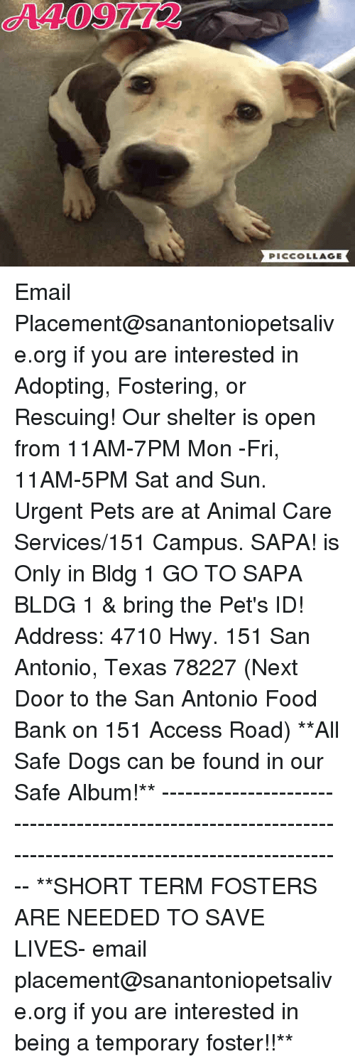 Dogs, Food, and Memes: A409772  PICCOLLAGE Email Placement@sanantoniopetsalive.org if you are interested in Adopting, Fostering, or Rescuing!  Our shelter is open from 11AM-7PM Mon -Fri, 11AM-5PM Sat and Sun.  Urgent Pets are at Animal Care Services/151 Campus. SAPA! is Only in Bldg 1 GO TO SAPA BLDG 1 & bring the Pet's ID! Address: 4710 Hwy. 151 San Antonio, Texas 78227 (Next Door to the San Antonio Food Bank on 151 Access Road)  **All Safe Dogs can be found in our Safe Album!** ---------------------------------------------------------------------------------------------------------- **SHORT TERM FOSTERS ARE NEEDED TO SAVE LIVES- email placement@sanantoniopetsalive.org if you are interested in being a temporary foster!!**