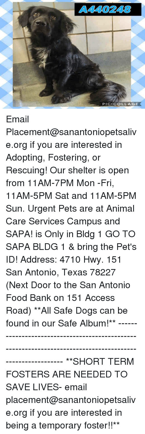 safe: A440248  PIC-COLLAGE Email Placement@sanantoniopetsalive.org if you are interested in Adopting, Fostering, or Rescuing!  Our shelter is open from 11AM-7PM Mon -Fri, 11AM-5PM Sat and 11AM-5PM Sun.  Urgent Pets are at Animal Care Services Campus and SAPA! is Only in Bldg 1 GO TO SAPA BLDG 1 & bring the Pet's ID! Address: 4710 Hwy. 151 San Antonio, Texas 78227 (Next Door to the San Antonio Food Bank on 151 Access Road)  **All Safe Dogs can be found in our Safe Album!** ---------------------------------------------------------------------------------------------------------- **SHORT TERM FOSTERS ARE NEEDED TO SAVE LIVES- email placement@sanantoniopetsalive.org if you are interested in being a temporary foster!!**