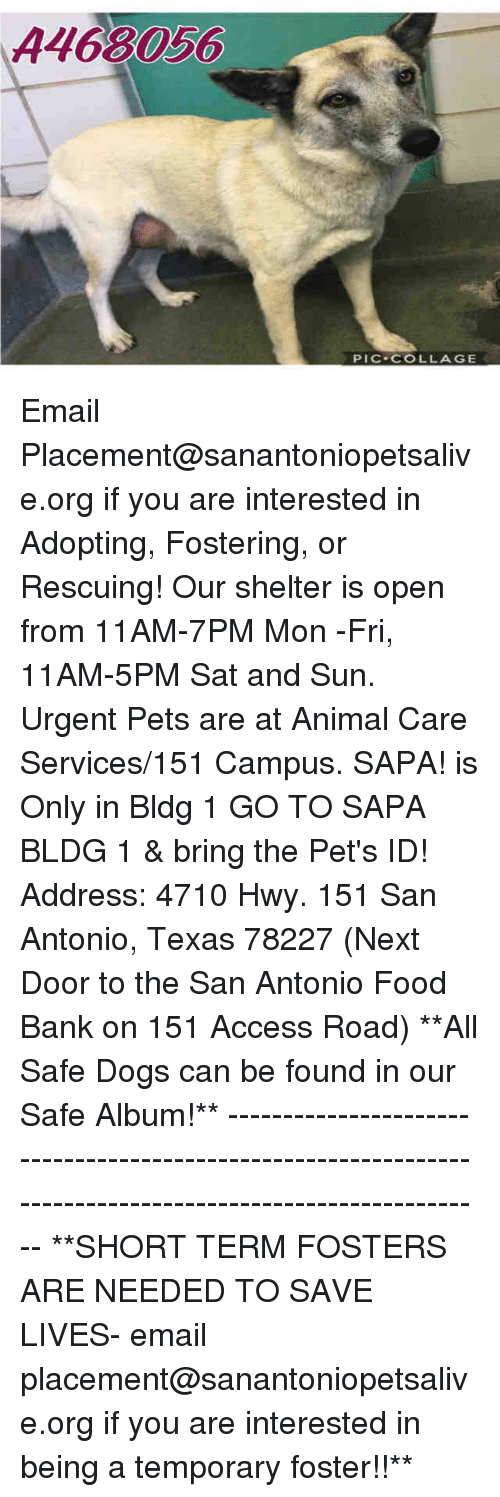 Dogs, Food, and Memes: A468056  PIC COLLAGE Email Placement@sanantoniopetsalive.org if you are interested in Adopting, Fostering, or Rescuing!  Our shelter is open from 11AM-7PM Mon -Fri, 11AM-5PM Sat and Sun.  Urgent Pets are at Animal Care Services/151 Campus. SAPA! is Only in Bldg 1 GO TO SAPA BLDG 1 & bring the Pet's ID! Address: 4710 Hwy. 151 San Antonio, Texas 78227 (Next Door to the San Antonio Food Bank on 151 Access Road)  **All Safe Dogs can be found in our Safe Album!** ---------------------------------------------------------------------------------------------------------- **SHORT TERM FOSTERS ARE NEEDED TO SAVE LIVES- email placement@sanantoniopetsalive.org if you are interested in being a temporary foster!!**