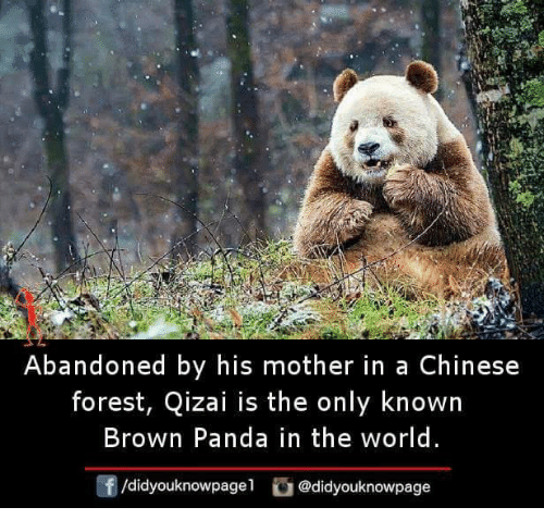 Memes, Panda, and Chinese: Abandoned by his mother in a Chinese  forest, Qizai is the only known  Brown Panda in the world  f/didyouknowpagel@didyouknowpage