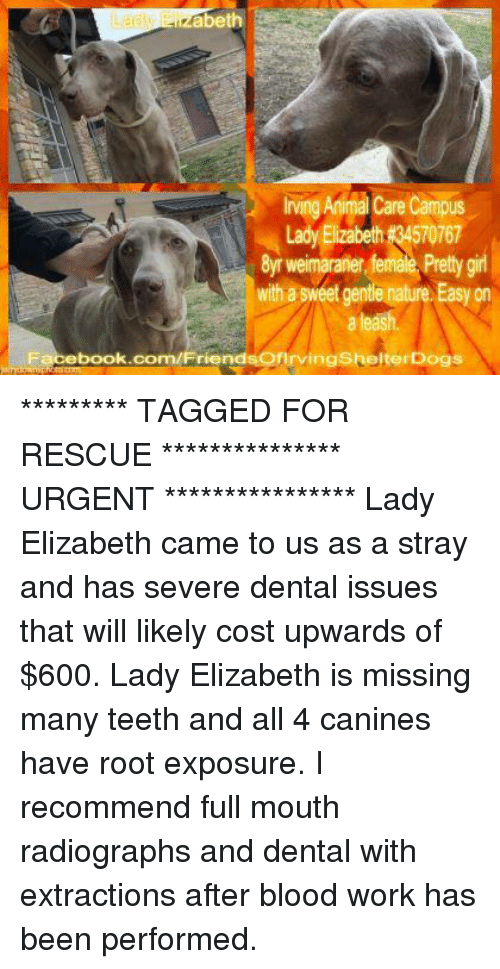 Memes, 🤖, and Roots: abeth  ning Anima care campus  Lady Elizabeth 4570767  8ym weimaraner female Pretty girl  with sweet gente nature Easy on  Facebook.com/FriendsoflrvingskelterDogs ********* TAGGED FOR RESCUE *************** URGENT ****************  Lady Elizabeth came to us as a stray and has severe dental issues that will likely cost upwards of $600.   Lady Elizabeth is missing many teeth and all 4 canines have root exposure. I recommend full mouth radiographs and dental with extractions after blood work has been performed.