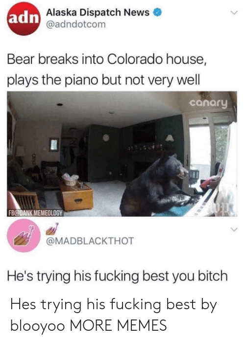 wel: adn  Alaska Dispatch News  @adndotcom  Bear breaks into Colorado house,  plays the piano but not very wel  canary  FB@DANK MEMEOLOGY  @MADBLACKTHOT  He's trying his fucking best you bitch Hes trying his fucking best by blooyoo MORE MEMES