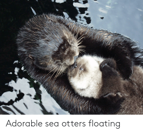 Otters: Adorable sea otters floating