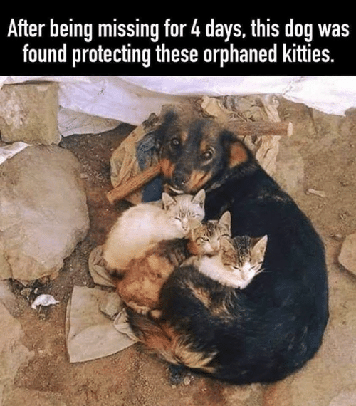 Kitties: After being missing for 4 days, this dog was  found protecting these orphaned kitties.