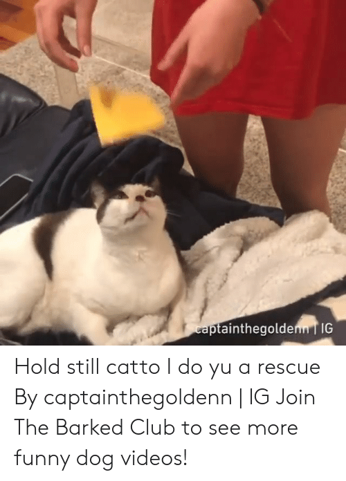 dog videos: ainthegolden IG Hold still catto I do yu a rescue By captainthegoldenn | IG  Join The Barked Club to see more funny dog videos!