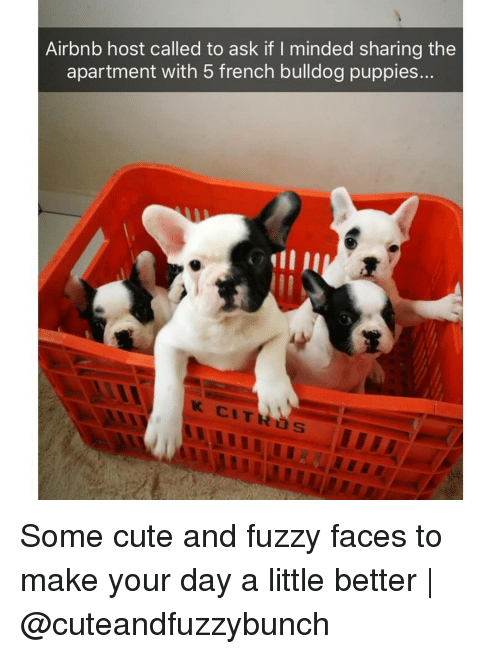 french bulldog: Airbnb host called to ask if I minded sharing the  apartment with 5 french bulldog puppies... Some cute and fuzzy faces to make your day a little better | @cuteandfuzzybunch