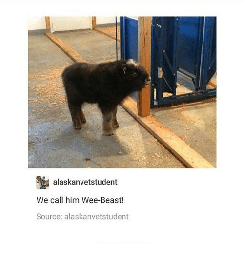 wees: alaskanvetstudent  We call him Wee-Beast!  Source: alaskanvetstudent
