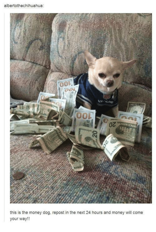Money Dog: albertothechihuahua:  00L  this is the money dog, repost in the next 24 hours and money will come  your way!!