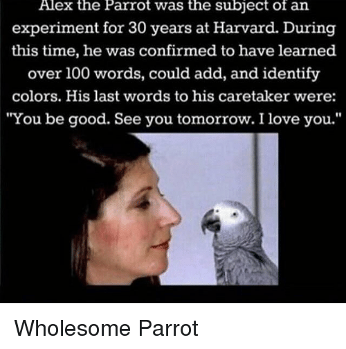 """see you tomorrow: Alex the Parrot was the subject of an  experiment for 30 years at Harvard. During  this time, he was confirmed to have learned  over 100 words, could add, and identify  colors. His last words to his caretaker were:  """"You be good. See you tomorrow. I love you."""" <p>Wholesome Parrot</p>"""