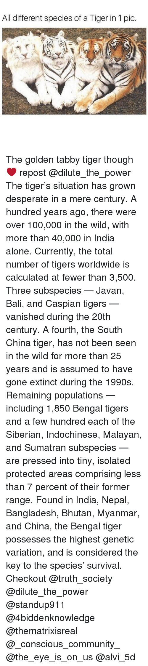Bhutan: All different species of a Tiger in 1 pic The golden tabby tiger though ❤️ repost @dilute_the_power The tiger's situation has grown desperate in a mere century. A hundred years ago, there were over 100,000 in the wild, with more than 40,000 in India alone. Currently, the total number of tigers worldwide is calculated at fewer than 3,500. Three subspecies — Javan, Bali, and Caspian tigers — vanished during the 20th century. A fourth, the South China tiger, has not been seen in the wild for more than 25 years and is assumed to have gone extinct during the 1990s. Remaining populations — including 1,850 Bengal tigers and a few hundred each of the Siberian, Indochinese, Malayan, and Sumatran subspecies — are pressed into tiny, isolated protected areas comprising less than 7 percent of their former range. Found in India, Nepal, Bangladesh, Bhutan, Myanmar, and China, the Bengal tiger possesses the highest genetic variation, and is considered the key to the species' survival. Checkout @truth_society @dilute_the_power @standup911 @4biddenknowledge @thematrixisreal @_conscious_community_ @the_eye_is_on_us @alvi_5d