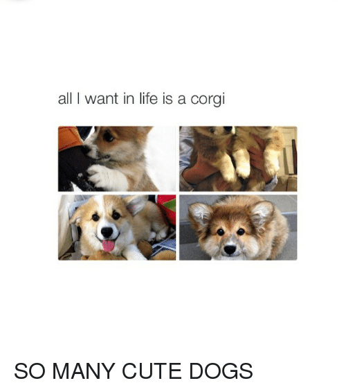 Girl Memes: all I want in life is a corgi SO MANY CUTE DOGS