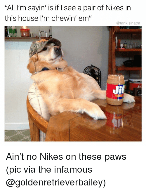 """Funny, House, and Infamous: All I'm sayin' is if I see a pair of Nikes in  this house I'm chewin' em""""  @tank.sinatra Ain't no Nikes on these paws (pic via the infamous @goldenretrieverbailey)"""