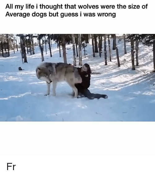 Dogs, Funny, and Life: All my life i thought that wolves were the size of  Average dogs but guess i was wrong Fr