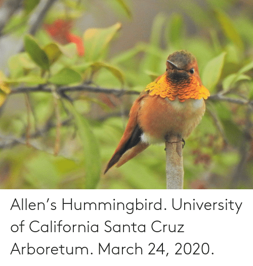 Santa Cruz: Allen's Hummingbird. University of California Santa Cruz Arboretum. March 24, 2020.