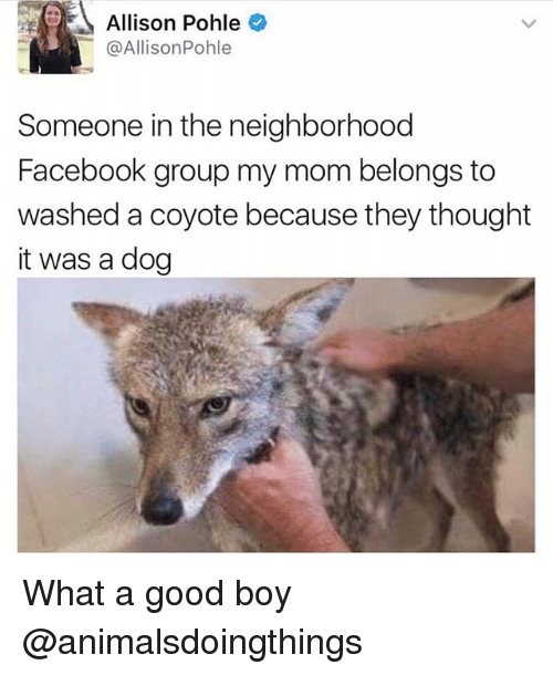 Facebook, Coyote, and Good: Allison Pohle  @AllisonPohle  Someone in the neighborhood  Facebook group my mom belongs to  washed a coyote because they thought  it was a dog What a good boy @animalsdoingthings