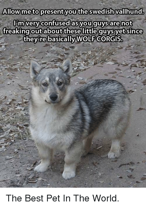 present: Allow meto present you  the swedish vallhund  lim veryconfused asyou guys are not  freaking these little quysyet since  they re CORGIS  out about  basically WOLF <p>The Best Pet In The World.</p>