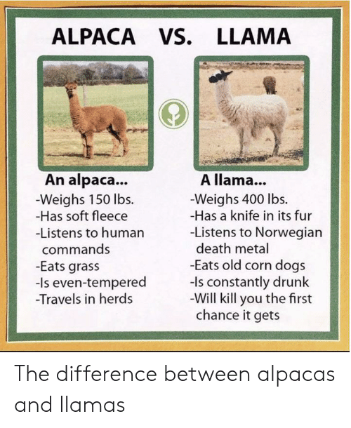 llama: ALPACA VS. LLAMA  An alpaca...  A llama...  -Weighs 150 lbs  -Has soft fleece  -Weighs 400 lbs.  -Has a knife in its fur  -Listens to Norwegian  death metal  -Eats old corn dogs  -ls constantly drunk  -Will kill you the first  chance it gets  -Listens to human  commands  -Eats grass  -Is even-tempered  Travels in herds The difference between alpacas and llamas