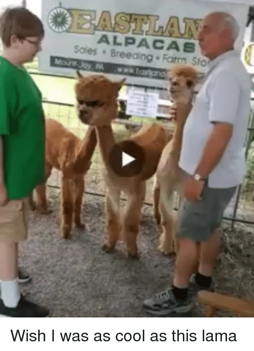 Funny, Cool, and Sto: ALPACAS  Sales Breeding Farm Sto Wish I was as cool as this lama