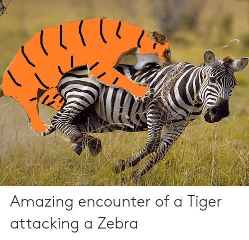 Attacking: Amazing encounter of a Tiger attacking a Zebra