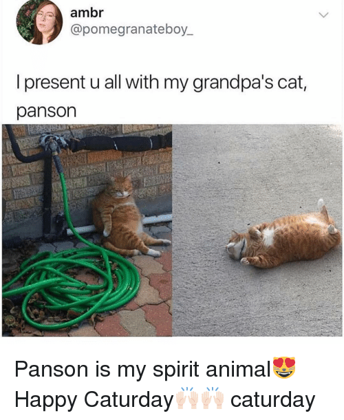Caturday, Funny, and Animal: ambr  @pomegranateboy.  I present u all with my grandpa's cat  panson Panson is my spirit animal😻 Happy Caturday🙌🏻🙌🏻 caturday