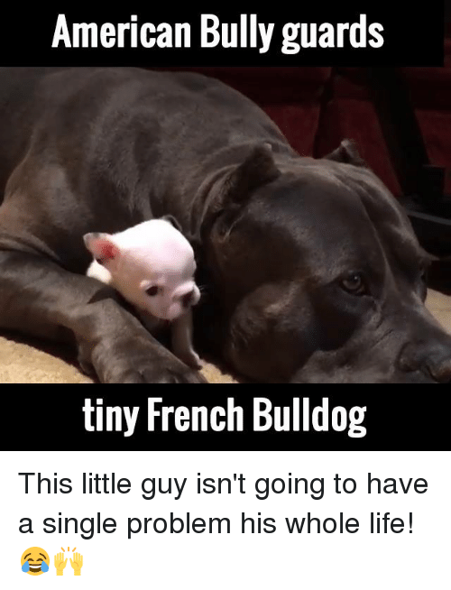 french bulldog: American Bully guards  tiny French Bulldog This little guy isn't going to have a single problem his whole life! 😂🙌