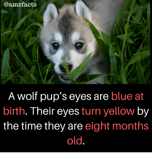 Memes, Blue, and Time: @amzfacts  A wolf pup's eyes are blue at  birth. Their eyes turn yellow by  the time they are eight months  old.