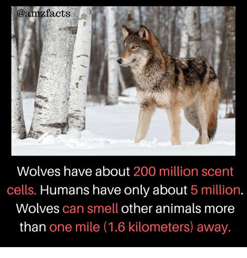 Animals, Bailey Jay, and Memes: @amzfacts  Wolves have about 200 million scent  cells. Humans have only about 5 million.  Wolves can smell other animals more  than one mile (1.6 kilometers) away.
