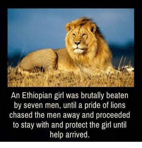 Ethiopians: An Ethiopian girl was brutally beaten  by seven men, until a pride of lions  chased the men away and proceeded  to stay with and protect the girl until  help arrived